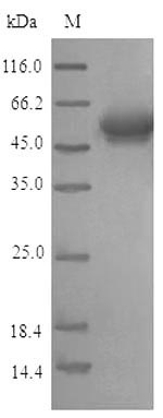 SDS-PAGE- Recombinant protein Human ACKR3