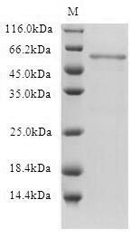 SDS-PAGE- Recombinant protein Human HTR1B
