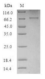 SDS-PAGE- Recombinant protein Human HTR2B
