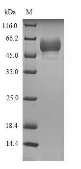 SDS-PAGE- Recombinant protein Human HTR3E