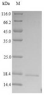 SDS-PAGE- Recombinant protein Human PRG2