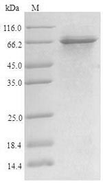 SDS-PAGE- Recombinant protein Human SREBF1
