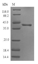 SDS-PAGE- Recombinant protein Human HTR3D