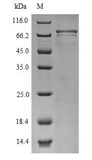 SDS-PAGE- Recombinant protein Human CNGA4