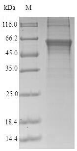 SDS-PAGE- Recombinant protein Human CRBN