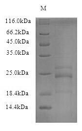 SDS-PAGE- Recombinant protein Mouse Il23a