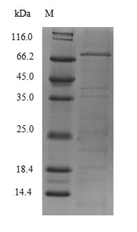 SDS-PAGE- Recombinant protein Human REXO4