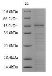 SDS-PAGE- Recombinant protein Mouse P2rx4