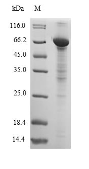 SDS-PAGE- Recombinant protein Dog ALB