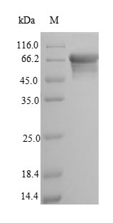 SDS-PAGE- Recombinant protein Rat Alpl