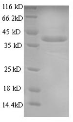 SDS-PAGE- Recombinant protein Mouse Anxa1