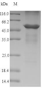 SDS-PAGE- Recombinant protein Dog ANXA4
