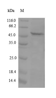 SDS-PAGE- Recombinant protein Human APOM