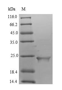 SDS-PAGE- Recombinant protein Human ASAH2B