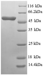 SDS-PAGE- Recombinant protein Mouse Asgr1