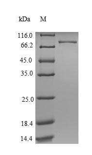 SDS-PAGE- Recombinant protein Human ATP5F1A