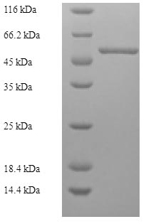 SDS-PAGE- Recombinant protein Human ATP6AP2
