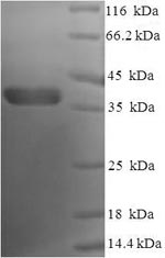 SDS-PAGE- Recombinant protein Human BCL2L1