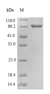 SDS-PAGE- Recombinant protein Mouse Becn1