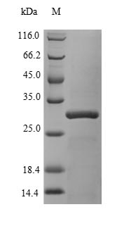 SDS-PAGE- Recombinant protein Human CBX7