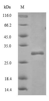 SDS-PAGE- Recombinant protein Mouse Cd82