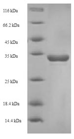 SDS-PAGE- Recombinant protein Bovine CD8A
