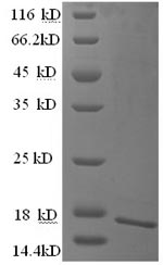 SDS-PAGE- Recombinant protein Human CEACAM4