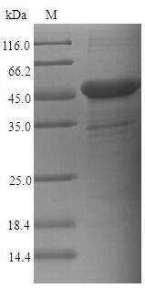 SDS-PAGE- Recombinant protein Human CEACAM6