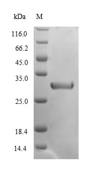 SDS-PAGE- Recombinant protein Mouse Cela2a