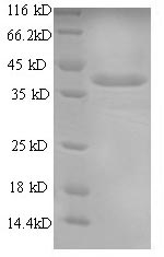 SDS-PAGE- Recombinant protein Dog CMA1