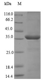 SDS-PAGE- Recombinant protein Macaca CMA1