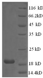 SDS-PAGE - Recombinant Chicken COL12A1