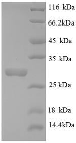 SDS-PAGE - Recombinant Human COL4A3