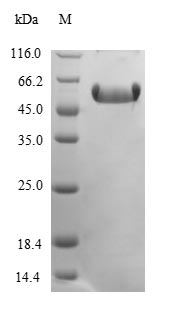 SDS-PAGE- Recombinant protein Mouse Ctgf
