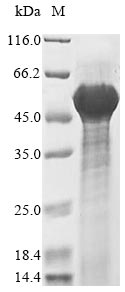 SDS-PAGE- Recombinant protein Mouse Dcn