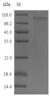 SDS-PAGE- Recombinant protein Mouse Dsg2