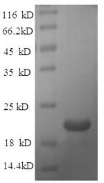 SDS-PAGE- Recombinant protein Rat Efna1