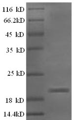 SDS-PAGE- Recombinant protein Rat Efna5