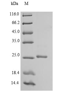 SDS-PAGE- Recombinant protein Mouse Efnb3