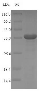 SDS-PAGE- Recombinant protein Human FCER1A