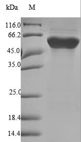 SDS-PAGE- Recombinant protein Human FGB