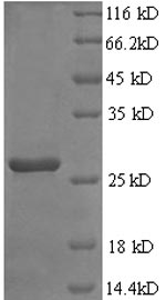 SDS-PAGE- Recombinant protein Rat Fgf23