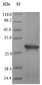 SDS-PAGE- Recombinant protein Human IZUMO1R