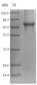 SDS-PAGE- Recombinant protein Human GAPDH