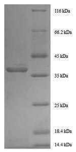 SDS-PAGE- Recombinant protein Human GDF11