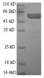 SDS-PAGE- Recombinant protein Mouse Gfap
