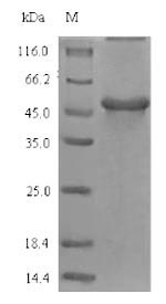 SDS-PAGE - Recombinant Glycine max  Gamma-glutamyl hydrolase