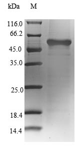 SDS-PAGE- Recombinant protein Cricetulus GLUL