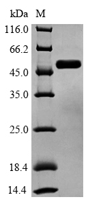 SDS-PAGE- Recombinant protein Human GSK3B