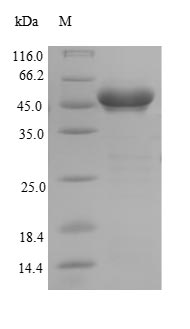 SDS-PAGE- Recombinant protein Human GSTK1